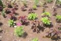 矮性コスモスの花、鶏頭の伸び。(26.7.20)