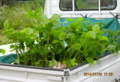 軽トラの荷台に、黒豆の芽生え。(26.7.20)