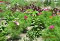 咲き始めた「矮性コスモス」、伸び始めた「葉鶏頭」。(26.7.25)