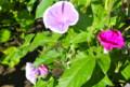 夏休みの定番、「アサガオ(朝顔)」の花。(26.7.28)