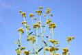 「女郎花」の黄色が青空に映えて…。(26.7.29)