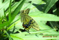 「紫宝華」の葉で、翅を休める「キアゲハ』。(26.7.30)
