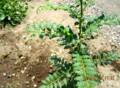 「サンショウ(山椒)」の葉を食べる青虫。(26.7.31)