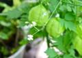 風船葛の小さな白い花。(26.8.4)