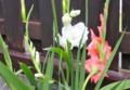 グラジオラス、ピンク、白の花も…。(26.8.9)