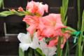 雨に濡れる、「グラジオラス」の花。(26.8.12)