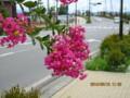「百日紅・さるすべり」の街路樹。(26.8.16)