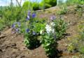 ひろばに植えた、採種洋の「桔梗」。(26.8.20)