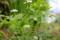 芹の花とキアゲハの幼虫。(26.8.21)