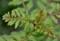 「ゆず虫・アゲハ蝶」の卵探し。(26.8.21)