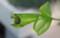 ハイビスカスの葉を巧みに巻いた巣。(26.8.22)