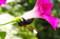 朝顔の花に訪れるマルハナ蜂.(26.8.23)
