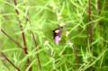コキアの葉に、「エサキモンキツノカメムシ」。(26.8.27)