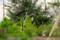 鳥避け対策した「賢治ガーデン」の稲穂。(26.8.29)