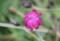 雨に濡れる「スイセンノウ(酔仙翁)」の花。(26.8.30)