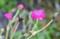 雨に濡れる「スイセンノウ(酔仙翁)」の花と実。(26.8.30)