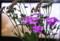 テレビ画面前の、「川原撫子」と「藤袴」。(26.8.30)