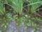 田んぼに、珍しい水草・「ミズオオバコ」。(26.8.31)