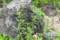 ロックガーデンの「ササリンドウ(笹竜胆)」。(26.9.1)