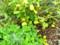 黄色に熟した「クサボケ(草木瓜)」の実。(26.9.1)
