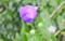 雨粒がついた「桔梗の蕾」。(26.9.2)
