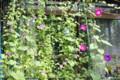 日差しが無く、不要な「グリーンカーテン」。(26.9.4)