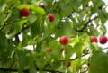 街路樹・「ヤマボウシ(山法師)」の赤い実。(26.9.6)