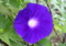 季節外れの「アサガオ」の花。(26.9.11)