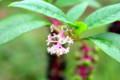 「ヨウシュヤマゴボウ」の花。(26.9.11)