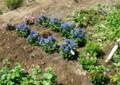「リンドウ」の花で賑やかな、賢治ガーデン。(26.9.14)