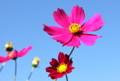 青空に映える、佐久市の花・「コスモス」。(26.9.19)