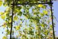 「アサリナ」のカーテンも秋色に…。(26.9.22)