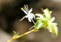 6枚花弁の、「オリヅルラン(折り鶴蘭)」。(26.9.26)