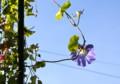 蔓を伸ばして咲く「ヘヴンリーブルー朝顔」。(26.9.28)