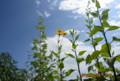 わずかに覗いた青空に、賢治ゆかりの「キク芋(菊芋)」が…。(