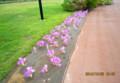 ひとり気をはく、「コルチカム」の花。(26.10.6)