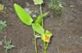 「ハンゲショウ」の植えつけ。(26.10.7)