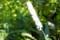 「サラシナショウマ(晒菜升麻)」の花。(26.10.8)