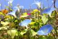 秋の光を浴びて咲き誇る「ヘヴンリーブルー」朝顔。(26.10.10)
