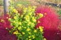コキアの紅葉、アワコガネギクの黄色。(26.10.17)(7:24)
