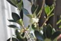 記念樹「ヒイラギ(柊)」の花。(26.10.19)