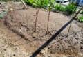 カタクリ球根植えつけ地に、ニンニク苗。(26.10.19)