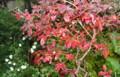 雨中の、「ブルーベリー」と「白菊」。(26.10.22)
