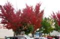 真っ赤に紅葉した「サクラ(桜)」の木。(26.10.23)
