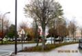 ほとんど葉を落とした、駅前通りの「カツラ(桂)」の木。(26.10.23)