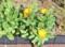 秋の日を浴びて咲く、「金盞花」。(26.10.27)