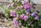 遅くまで咲く「コンギク(紺菊)」。(26.10.27)