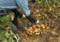 雑木林で出会った「クリ茸」。(26.10.27)
