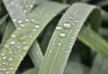 グラジオラスの葉に、雨粒が…。(26.11.1)