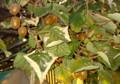 「キウイフルーツ」収穫時…。(26.11.4)